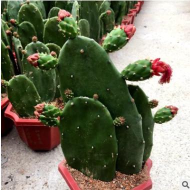 多肉植物用药仙人掌盆栽食用仙人掌多肉植物仙人掌盆栽批发