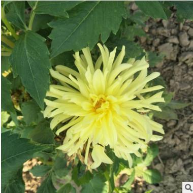 观赏大丽花种株批发 基地优质花卉直销好成活切花苗鲜花批
