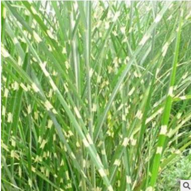 斑叶芒草 苗圃直销 产地批发价格 观赏草 多年生园林景观草本植物