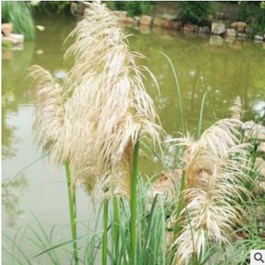 矮蒲苇 青州水生植物批发花叶矮蒲苇 观赏草蒲苇