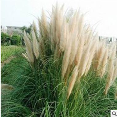 水生植物矮蒲苇 矮蒲苇 常绿水生蒲苇 水生景观绿化植物蒲苇