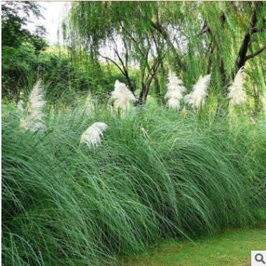 矮蒲苇 观赏草 草本宿根植物 基地直供 湿地景观 蒲苇苗