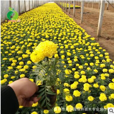 青州禾丰园 花卉培育 国庆菊万寿菊 台盆栽花长期供应