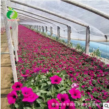 禾丰园专业花卉培育 牵牛花 喇叭花 矮牵牛 批发优质草坡绿化花卉