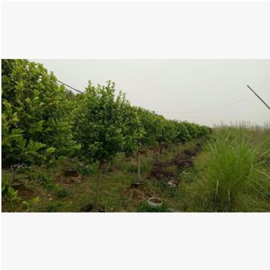 基地供应含笑球树苗 红花含笑苗 含笑花盆栽紫花含笑盆