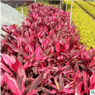 基地供应批发亮叶朱蕉 工程绿化盆栽彩叶观叶植物