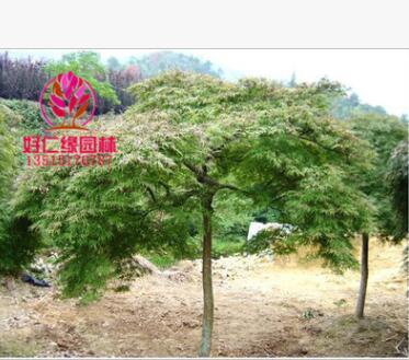 常年供应羽毛枫 羽毛枫规格齐全 一手货源 大型羽毛枫种植基地