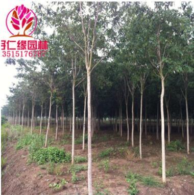 基地批发楸树苗 喜光耐寒 楸树苗工程绿化苗木 规格齐全量大优惠