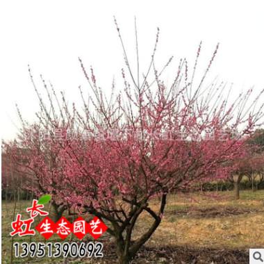 批发梅花树苗 盆栽红梅绿梅 美人梅 腊梅 多种梅花嫁接苗当年开花