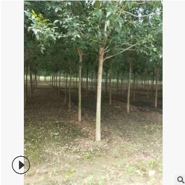 丰源苗木专业供应各种树木幼苗 白腊种植优良培育基地