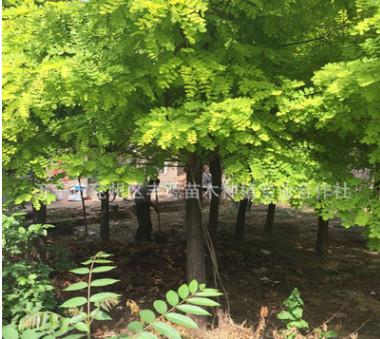 基地直销 金枝槐 黄槐 黄金槐 工程苗木 优质绿化苗木 包成活