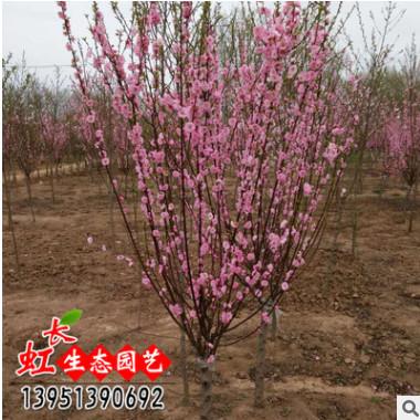 基地批发直销 大花榆叶梅 榆叶梅小苗 工程绿化苗木 观花植物
