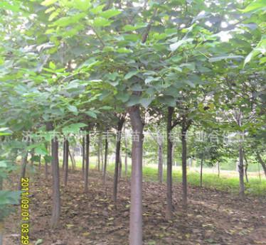 济宁嵫阳苗木基地低价供应优质楸树