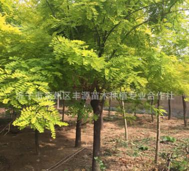 低价供应优质型态优美的黄金槐 金枝槐