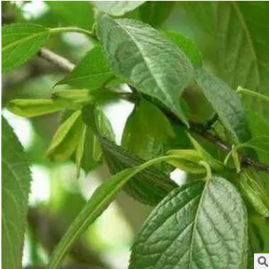 绿化型中药材苗木 高质杜仲树苗特价直销 山东杜仲树苗品质保证¥