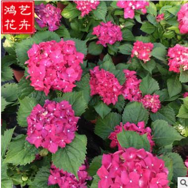 批发绣球花 盆栽庭院花坛绿化植物 花卉基地批发供应优质绣球花