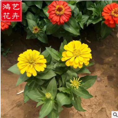 批发百日草 优质一二年生花卉花坛盆栽 存活率高基地直销百日草