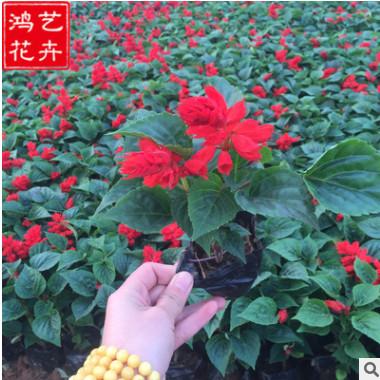 批发盆栽一串红 青州草花一串红基地 一二年生花卉一串红