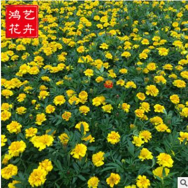 孔雀草时令花卉盆栽阳台庭院植物鲜切花批发一二年生花卉孔雀草苗