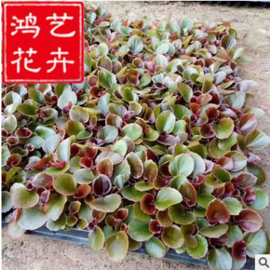 双色盆四季海棠盆栽 营养钵四季海棠 四季海棠穴盘苗 量大优惠