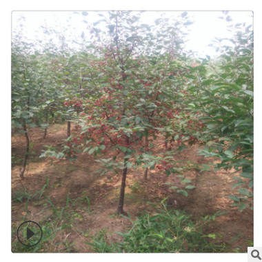 基地批发海棠树好的货源 海棠树量大优惠