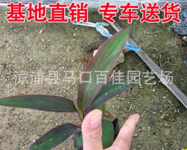 场地供应亮叶朱蕉 精选植物树苗朱蕉苗批发 灌木绿化苗朱蕉