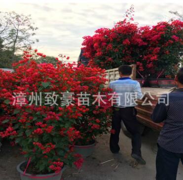 福建同安红三角梅盆栽苗工程苗
