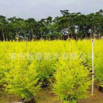 福建黄金宝树树苗又名黄金香柳