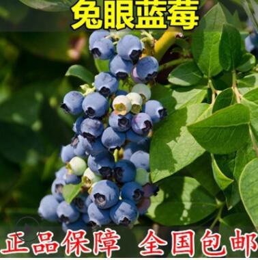 果树苗 带果发货蓝莓苗 兔眼蓝莓树苗 南方北方种植室外当年结果