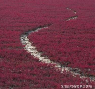 供应碱蓬草种子 翅碱蓬 黄须菜 盐碱地滩涂植物 秋冬可以变红