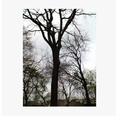 低价供应皂角、皂角树、皂角树苗皂角树苗木