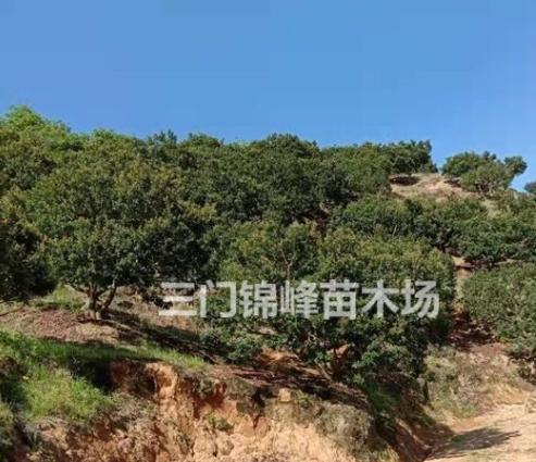 浙江台州三门杨梅供应 杨梅报价 杨梅价格 杨梅树报价