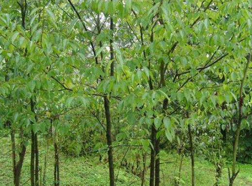 杜仲树、巨型无刺枸骨树