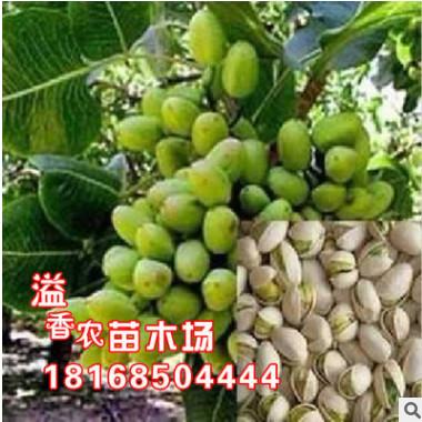 基地批发 果树苗盆栽开心果苗长果阿月浑子9月上旬成熟 盆栽果树