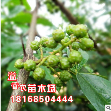 食用果树九叶青花椒树苗南方北方种植庭院篱笆大红袍花椒种子包邮