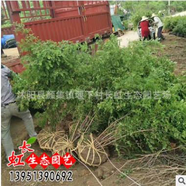 黄刺玫 基地直销 沭阳园林绿化工程苗1.5m大黄刺玫红刺玫 黄刺玫