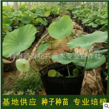厂家直供优质盆栽荷花 水生花卉绿化植物 荷花种藕 观赏花卉