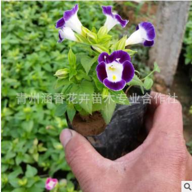 供应批发 道路绿化植物夏堇花卉 吊盆花卉 花坛种植 现货
