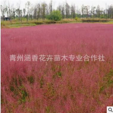 花卉基地批发耐寒植物粉黛乱子草 家庭盆栽花坛湿地绿化应季花