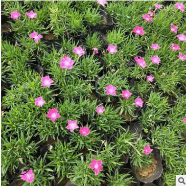 欧石竹 山东青州大量批发欧石竹 楼盘绿化 公园绿化 花海用花