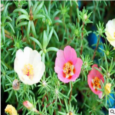 太阳花 山东青州大量供应优质草花太阳花 花色艳丽