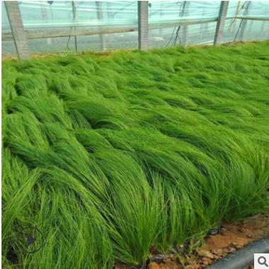 细叶针芒 山东大量供应优质宿根时令草花墨西哥羽毛草 细茎针茅