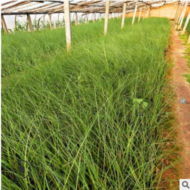 细叶芒 山东大量供应优质宿根时令草花细叶芒 细叶针芒园林绿化