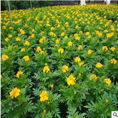 孔雀草 山东青州大量供应批发优质艳丽草花孔雀草 绿化