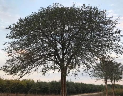 弗吉尼亚栎