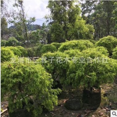 基地种植黄金香柳 千层金 黄金宝树 园林绿化苗木