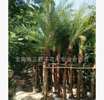 基地供应美丽针葵 美丽针葵盆栽 美丽针葵产地