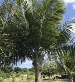 国王椰子杆高2-6米,杆径粗壮,一手货源,产地农户直销,价格低