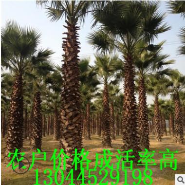 福建精品老人葵树便宜处理 杆高1-9米 头径60-70cm 鳞片结实