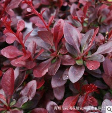 基地出售紫叶小檗 园林绿化色块组合 营养钵红叶小檗成活率高